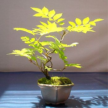 dr_bonsai21-img512x510-1148198976nanakamado006.jpg